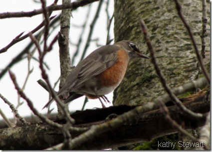 Robin in November
