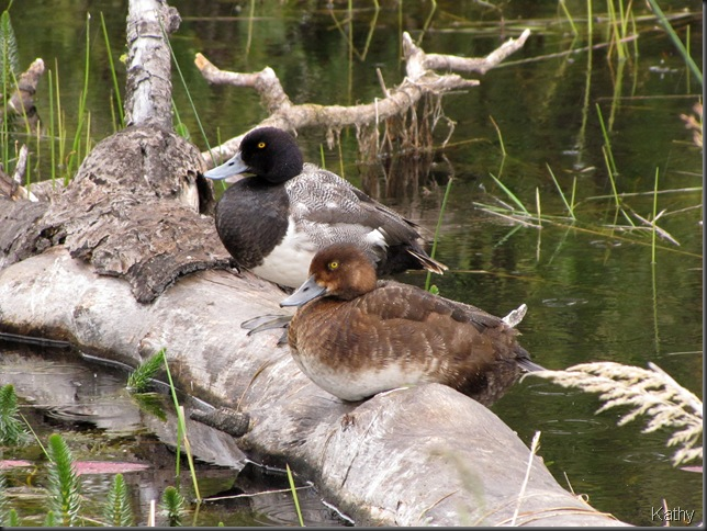 Pair of Scaups on a log