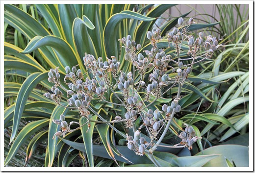 130601_Aloe-striata-seeds