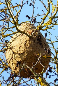P1010834 wasp nest cropped