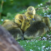 pile of goslings one.jpg