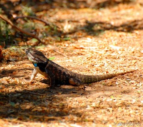 12. desert spiny lizard-kab