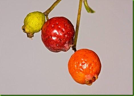Rose Myrtle 1