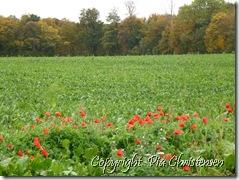 Blomstrende valmuer 25. oktober 2012