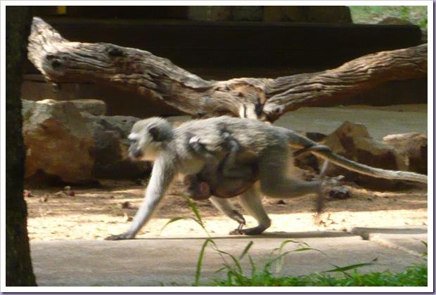 Thornybush-Game-Lodge-Hoedspruit-África-do-Sul-Reserva-Hotel-Macaco-Filhote