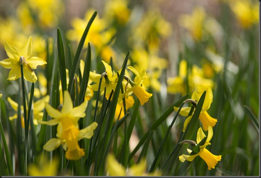 Fields of Daffodil
