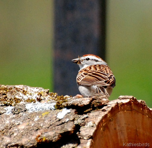 14. chip sparrow-kab