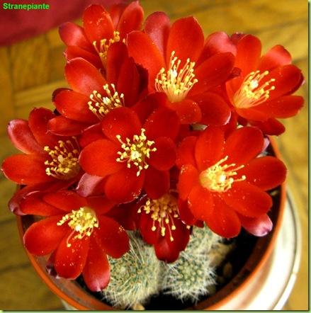 Rebutia deminuta fioritura