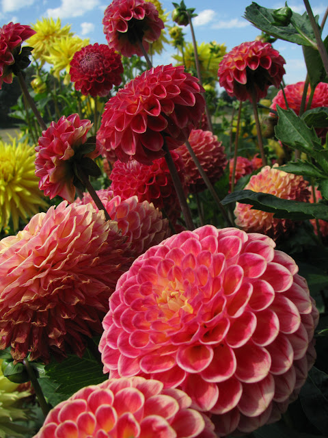 Sept/Oct 2012 - 3rd Place / Dahlias / Credit: Nina Karhinen
