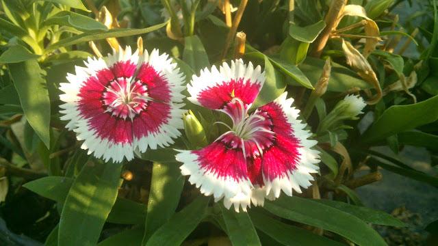 La jardinera clavel chino dianthus chinensis for Plantas ornamentales clavel