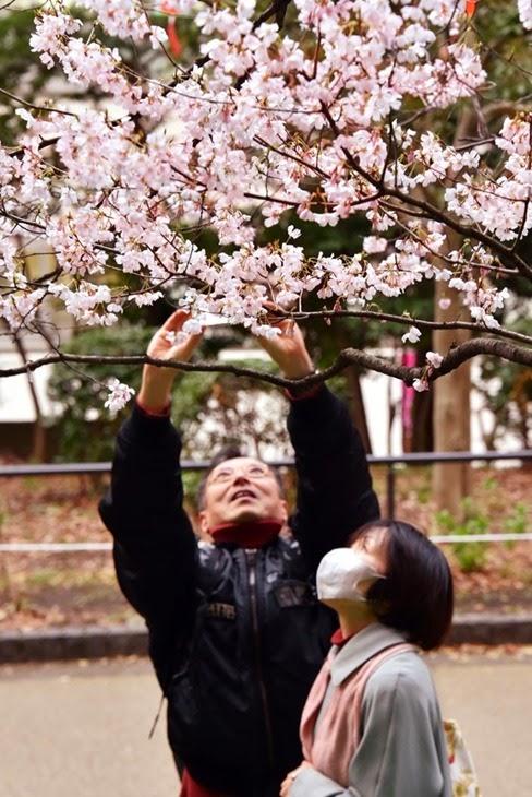 cerejeira-japao