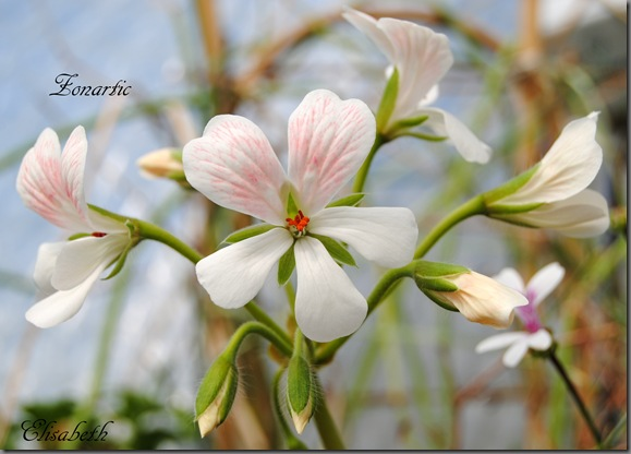 pelargonium i mai 034