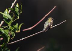 Kleb Woods Hummingbird