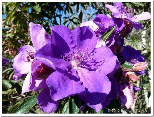 PurpleP1030892