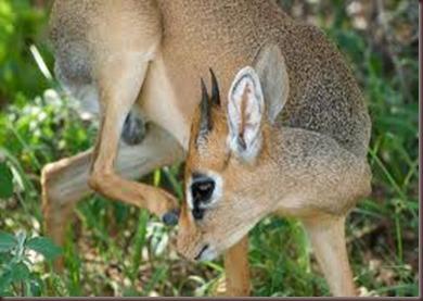 Amazing Pictures of Animals photo Nature, exotic, funny, incredibel Zoo, Dik-dik, antelope. Alex (19)