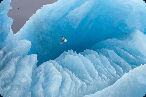 "IMAGE IS FOR YOUR ONE-TIME EXCLUSIVE USE ONLY FOR MEDIA PROMOTION OF THE NATIONAL GEOGRAPHIC BOOK ""POLAR OBSESSION."" NO SALES, NO TRANSFERS. ©2009 Paul Nicklen / National Geographic A kittiwake soars in front of a large iceberg. Svalbard, Norway (p. 29)"