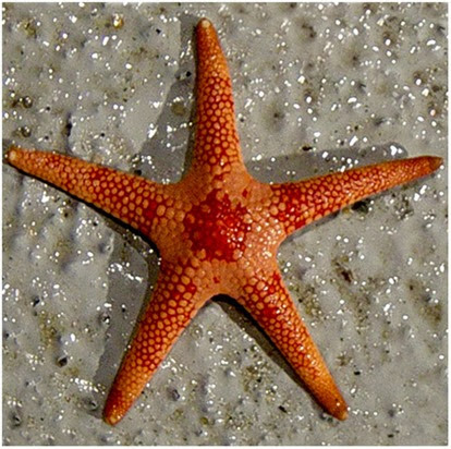 Amazing Pictures of Animals, Photo, Nature, Incredibel, Funny, Zoo, Starfish, Sea Stars, Asteroidea, Alex (27)