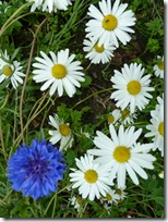 daisies and cornflower