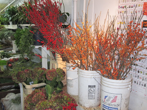 Here are some bright colored Ilex.