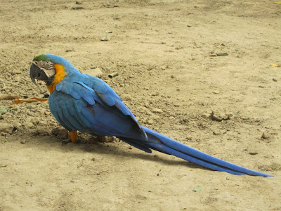 On our way to the Pampas tour, we stopped at a roadside restaurant for lunch. This parrot was just walking around, minding his own business.