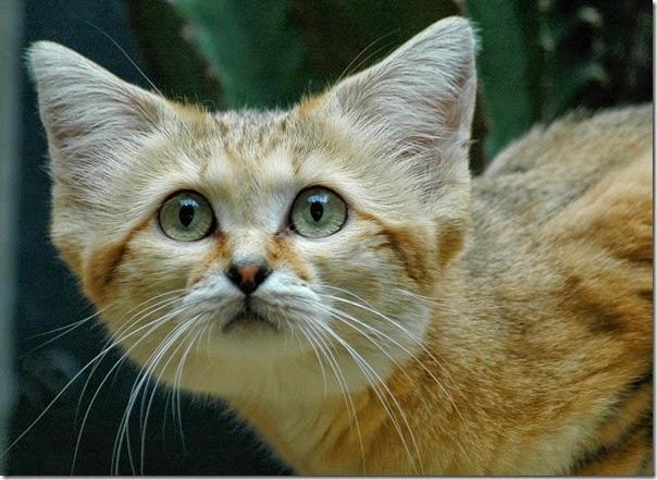 gato arena (1)