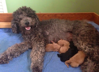 labradoodle puppies from gorgeousdoodles