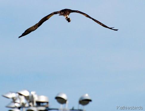7. osprey-kab
