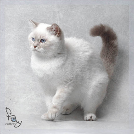 Pictures Of Cats And Kittens To Color. NET BRITISH CATS AND kittens