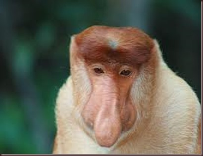 Amazing Pictures of Animals photo Nature exotic funny incredibel Zoo Proboscis monkey, long-nosed monkey, mammalia.Alex (3)