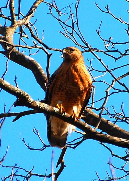 1. Red-shouldered Hawk CT-kab