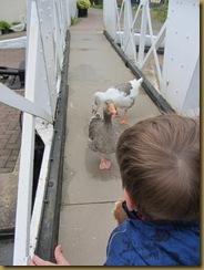 IMG_1424  feeding Geese