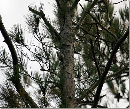 Red-cockaded Woodpecker, palmetto-peartree preserve