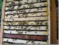 včely na květu a matečniky 001