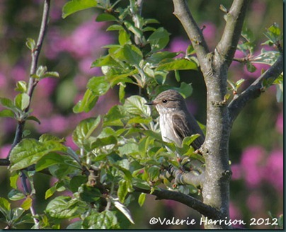 spotted-flycatcher-2