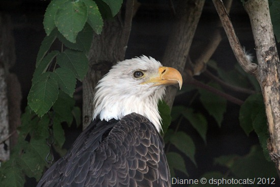 IMG_9446 Northern Bald Eagle