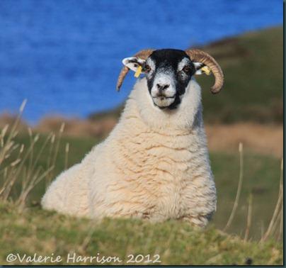 7-sheep