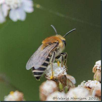 bee colletes-1
