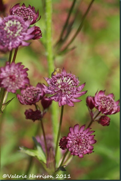 6 Astrantia