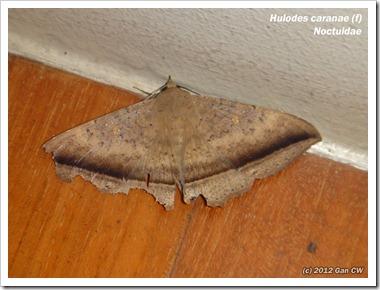 NOC_Hulodes caranae (f) 20120404_D10-800