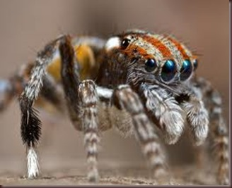 Amazing Pictures of Animals, photo, Nature ,exotic, funny, incredibel, Zoo, Maratus volans,  Peacock spider or Gliding spider, Alex (3)