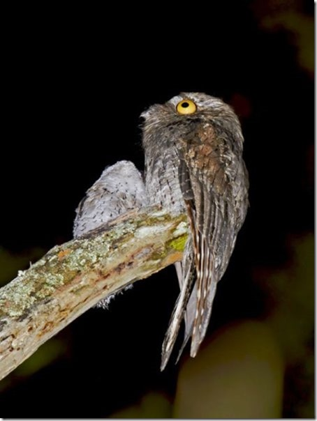 potoo-birds-eyes-7