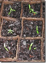 Parsnip seedlings don't hurry; even after a month they are still tiny.