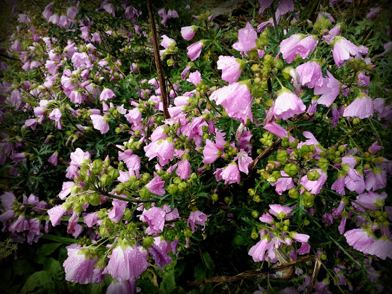 raindrop covered pinks