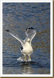 - Ring-bill Gull JumpD7K_9534 November 25, 2011 NIKON D7000