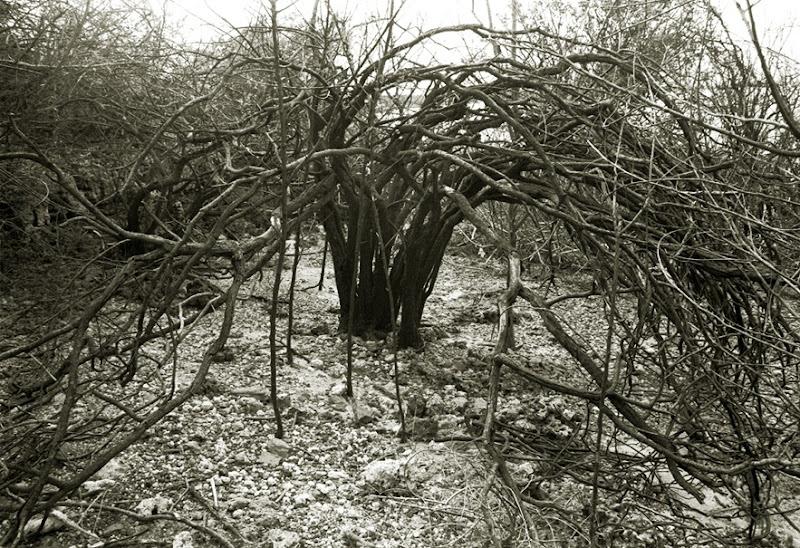 563 arbusto de ribera
