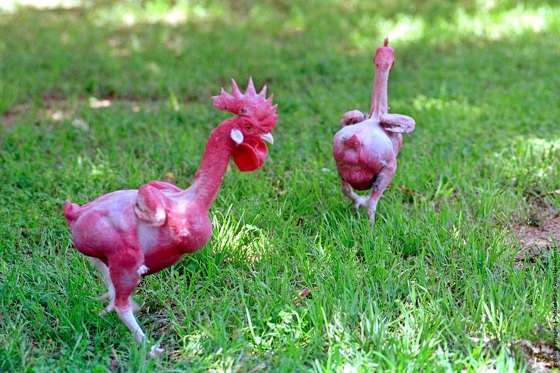 naked-chicken-4