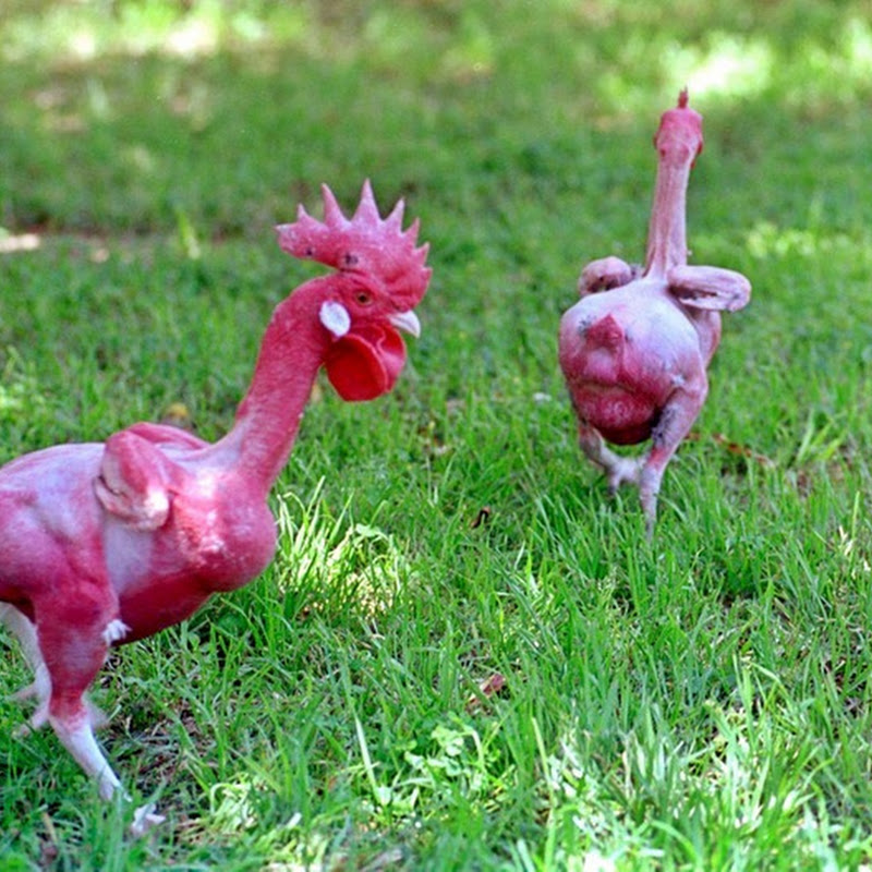 Ready to Cook Featherless Chicken
