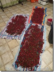 cranberry pickin' - The Backyard Farmwife