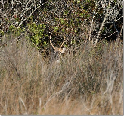 Whitetail Buck, Bodie Island Refuge, marsh