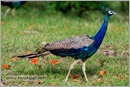 _P6A1719_peacocks_mudumalai_bandipur_sanctuary